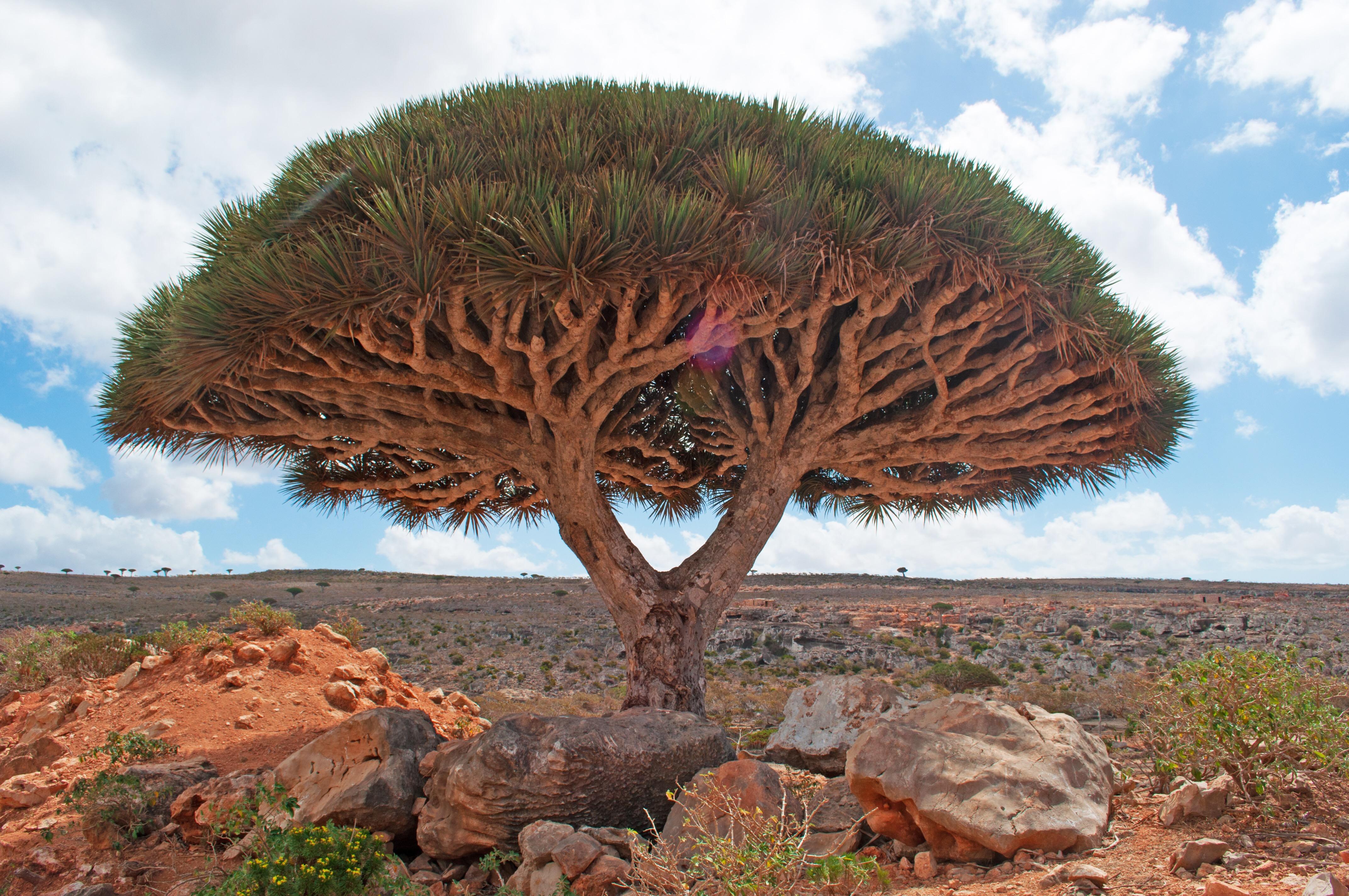 boswellia - arbore tamaie